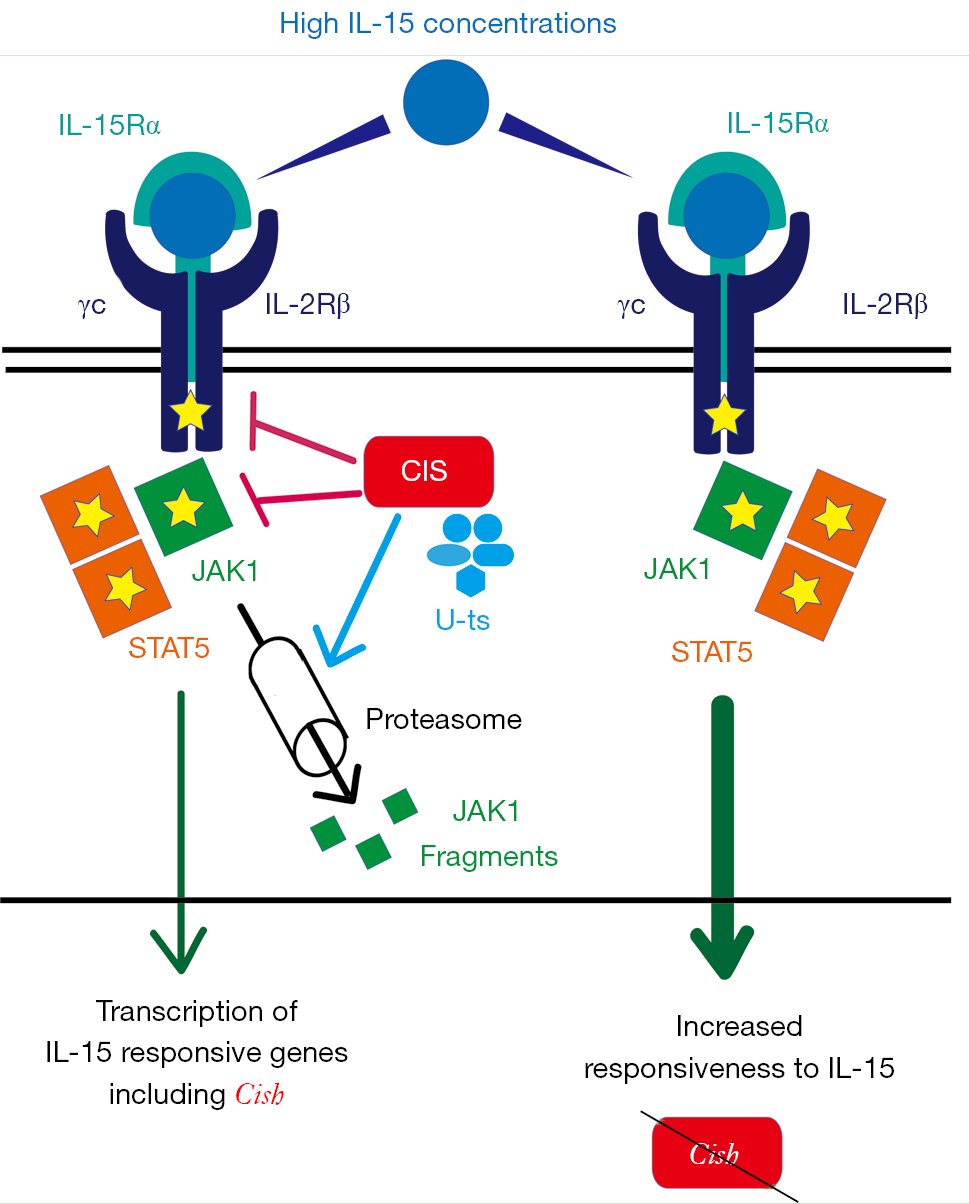 CIS Is A Negative Regulator Of IL-15-mediated Signals In