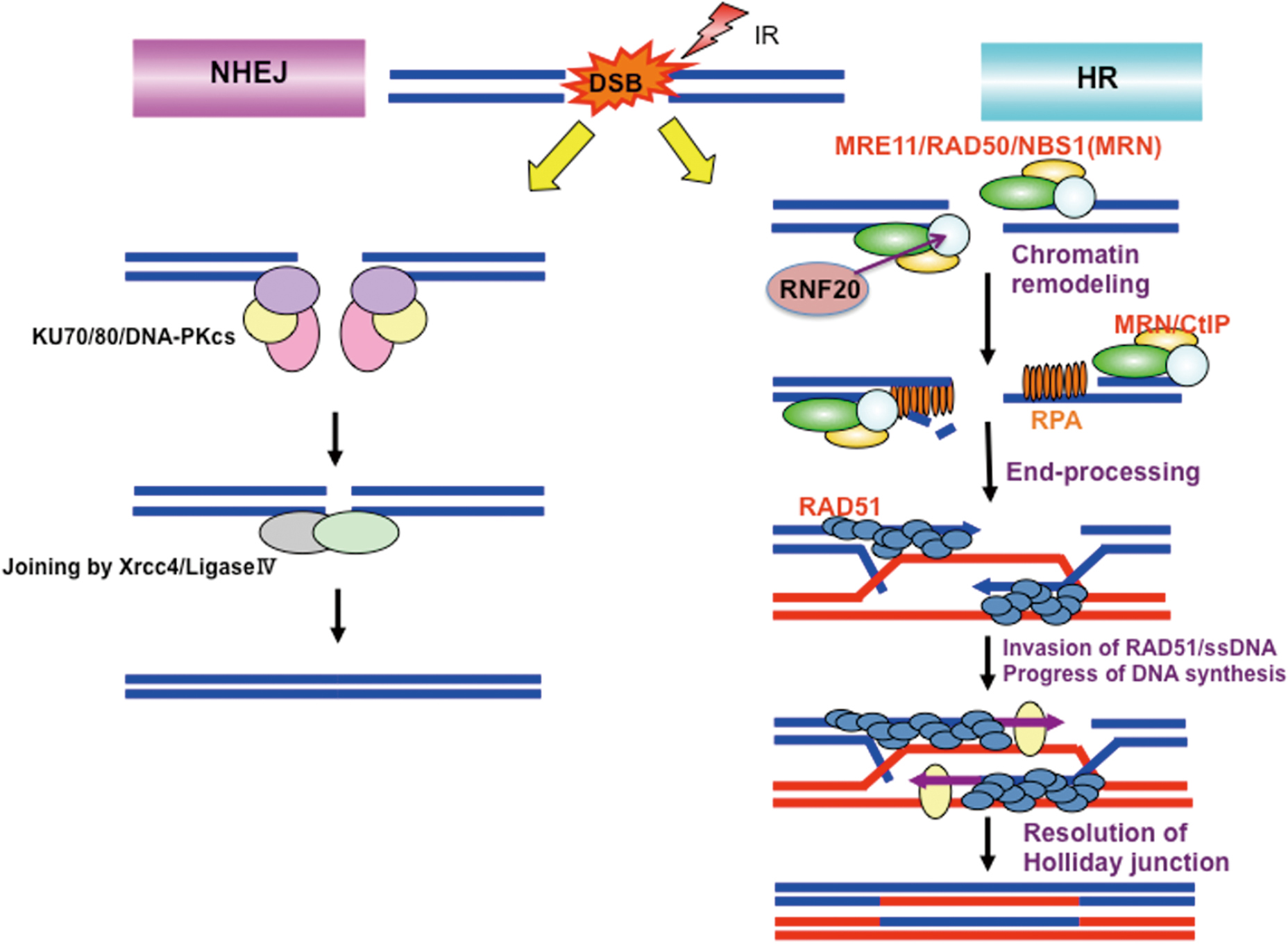 Role of NBS1 in DNA damage response and its relationship