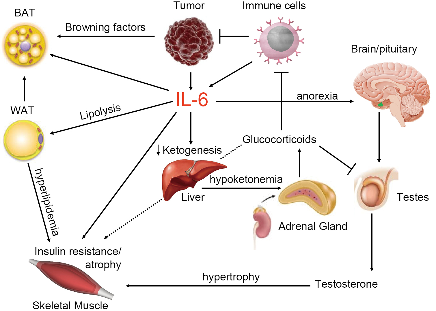 Sensitivity of mice to lipopolysaccharide is increased by a high saturated fat and cholesterol diet