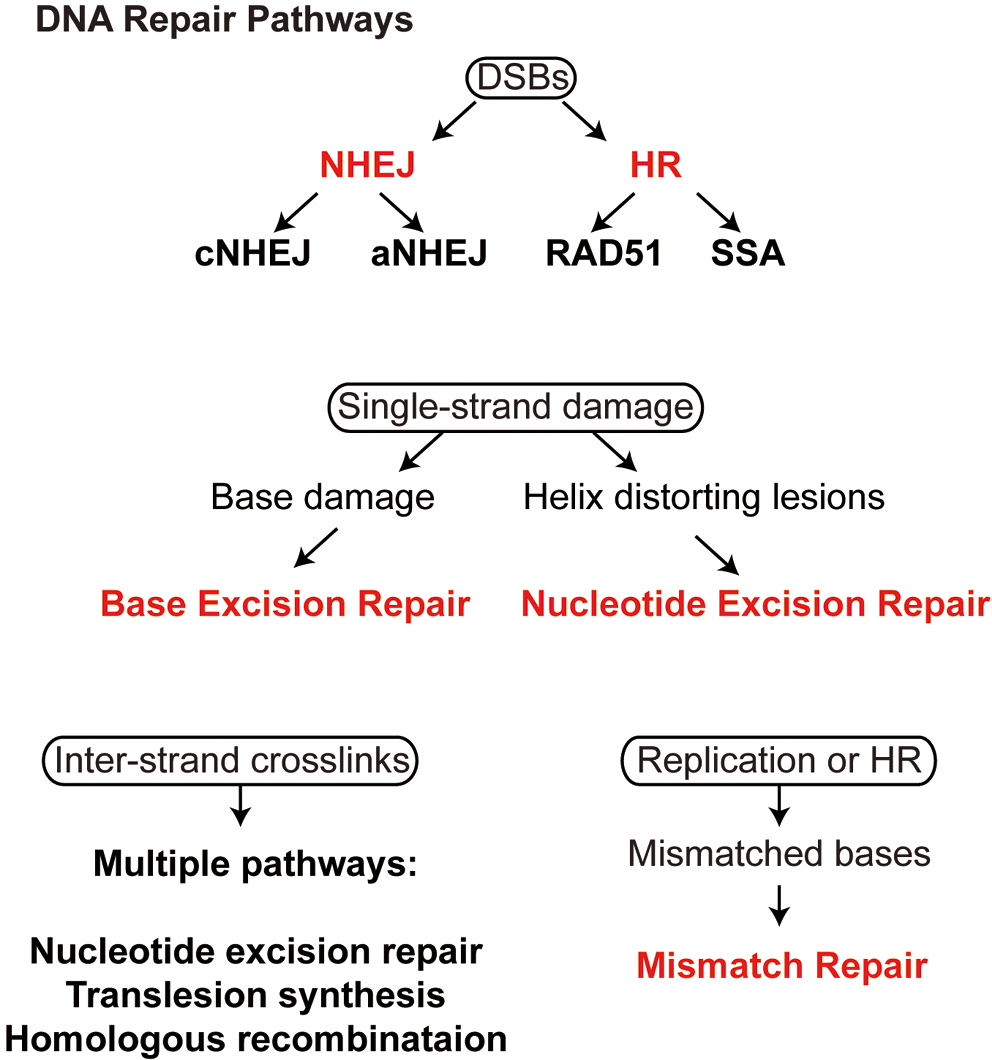 Intra- and Intermolecular Interactions, Radiation Effects in DNA Cells, and Repair Mechanisms